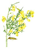 Broom (Cytisus scoparius),illustration