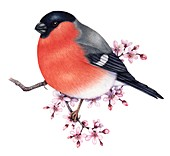 Bullfinch perched on a blossoming branch,illustration