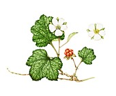 Cloudberry (Rubus chamaemorus),illustration