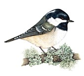 Coal tit perched on branch,illustration
