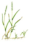 Common couch (Elymus repens),illustration