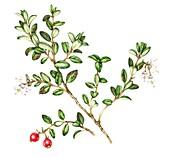 Lingonberry (Vaccinium vitis-idaea),illustration