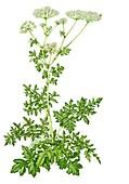 Giant hogweed (Heracleum mantegazzianum),illustration