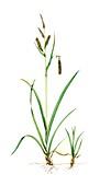 Glaucous sedge (Carex flacca),illustration