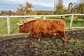 Highland cow,Wisconsin,USA