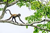 Juvenile Geoffroy's spider monkey