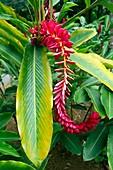 Red ginger (Alpinia purpurata) flowers