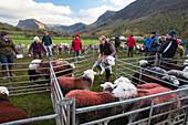 Herdwick sheep in pens