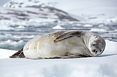 Crabeater seal