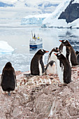 Gentoo penguins and cruise ship
