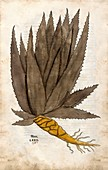 Aloe,16th century