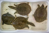 Turtles for sale at seafood market in China