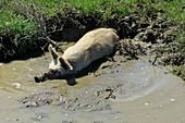 Pig enjoying a mudbath in Sardinia,Italy