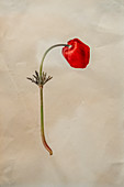 Crown anemone (Anemone coronaria) flower,illustration