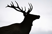 Silhouette of a young elk bull