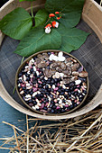 Bowl of beans, bean leaves and flowers in a garden riddle