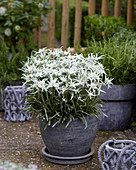 Leontopodium alpinum 'Blossom of Snow'