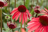 Echinacea purpurea '656-01'