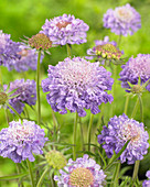 Scabiosa japonica 'Blue Diamonds'
