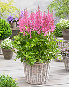 Astilbe chinensis 'Visions in Pink' ®