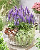 Salvia nemorosa 'Blue Bouquetta' ®