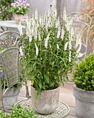 Veronica longifolia 'First Lady'