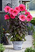 Hibiscus moscheutos Carousel® 'Pink Passion'