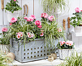 Carex EverColor® 'Evercream', Ranunculus und Primula acaulis