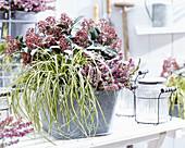 Carex EverColor® 'Everoro', Skimmia 'Rubella' und Erica carnea