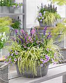Schale mit Carex EverColor® 'Everoro', Angelonia und Calibrachoa