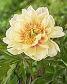 Paeonia Hybride 'Callie's Memory', Itoh-Hybride