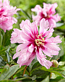 Paeonia Hybride 'First Arrival', Itoh-Hybride