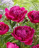 Paeonia lactiflora 'Felix Crousse'