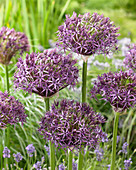 Allium christophii x atropurpureum 'Metallic Shine'