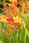 Crocosmia × crocosmiiflora 'Fire Jumper'