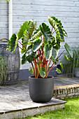 Colocasia esculenta 'Hawaiian Punch'