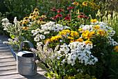 Terrassenbeet mit Phlox, Sonnenbraut, Margeriten, Sonnenhut und Borretsch