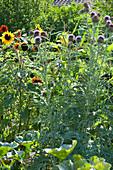 Blühende Cardy im Beet mit Sonnenblume