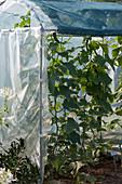 Gurkenpflanzen im Folien-Gewächshaus