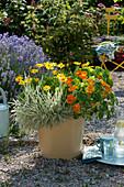 Kübel mit Kapuzinerkresse 'Alaska', Kapkörbchen Summersmile 'Yellow' und Honigras