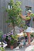 Frau prüft die Früchte am Birnbaum, Korb mit Hängegeranie und Kürbispflanze, Sellerie im Tontopf, Hund Zula