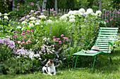 Liege am Beet mit Ballhortensie 'Annabelle', Flammenblumen, Scheinsonnenhut 'Butterfly Kisses', Katzenminze und Gras, Hund Zula