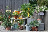 Naschbalkon mit gelber Zucchini 'Soleil', Tomate, Kapuzinerkresse 'Alaska', Sellerie, Grünkohl und Balkonkasten mit Petunie und Elfensporn