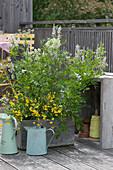 Holzkasten bepflanzt mit Geißraute, Wiesen-Platterbse und großer Bibernelle