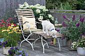 Balkon mit Sonnenhut Conetto 'Banana' 'Raspberry' 'Butterfly Kisses', Strauchhortensie, Eisenkraut, Sommerflieder, Liegestuhl und Hund Hera