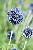 Hummeln und Wildbiene auf Blüte von Kugeldistel