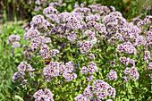 Blühender Oregano mit Schmetterling im Kräuterbeet