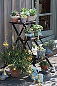 Blumentreppe mit Sukkulenten : Echeverien, Hauswurz und Brenngeleepflanze
