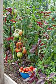 Tomaten im Hochbeet und rotblättriger Amaranth, Schale mit frisch gepflückten Tomaten