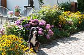 Terrassenbeet mit Sonnenhut 'Goldsturm' und Hortensie, Hund sitzt am Beet
